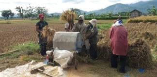Serda Sularso selaku Babinsa Watubonang Koramil 0802/07 Badegan melaksanakan pendampingan kepada Petani dalam rangka kegiatan Upsus Swasembada Pangan. Foto: Muh Nurcholis