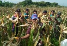 Panen jagung di Desa Jubel, Kecamatan Sugio, Kabupaten Lamongan (Foto Istimewa/Nusantaranews)