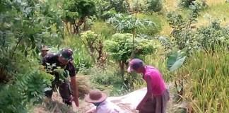 Sersan Satu (Sertu) Romadhon melibatkan diri dalam kegiatan pertanian di Kabupaten Blitar, Jawa Timur. (Foto: Istimewa)