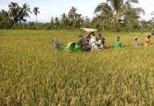 Stok pertanian di Kabupaten Jember aman hingga akhir musim tanam I 2018. (Foto: Istimewa)