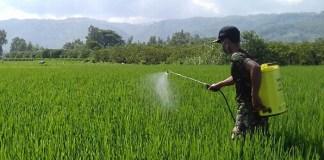 Serda Sunardi melakukan penyemprotan hama padi di sawah milik Jasman warga Bendo Desa Gandong Kecamatan Bandung, Selasa (6/3/18). (Foto: Istimewa)