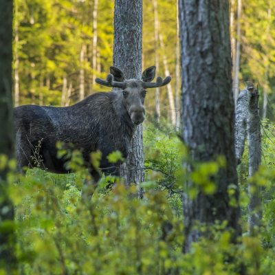 A moose in the forest