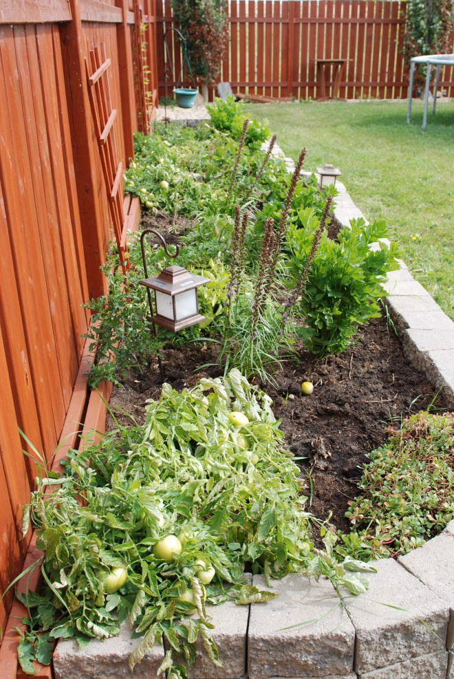 Tomato plants from the Nutmeg DIsrupted gardens, Grande Prairie Alberta