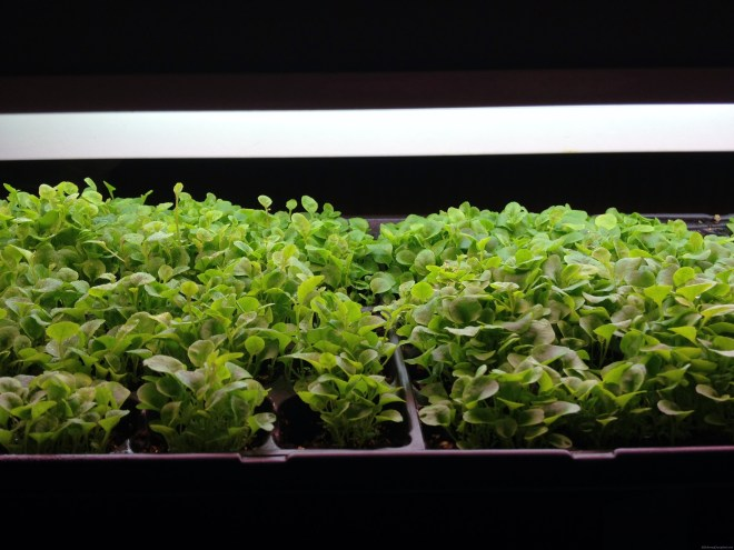 Gardening indoors under lights