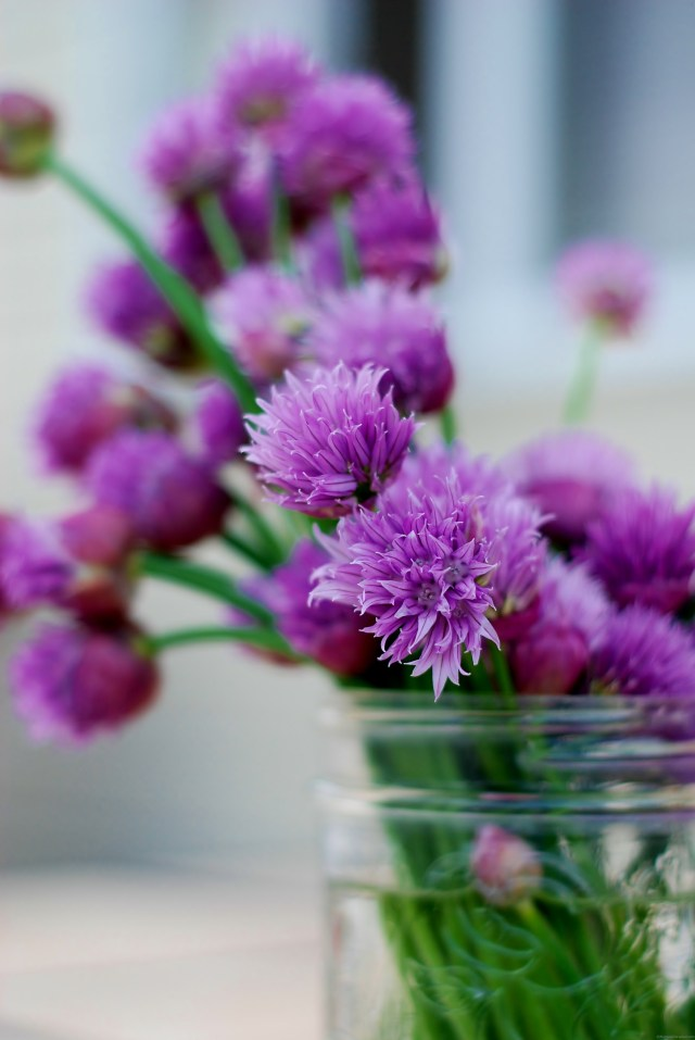 Fresh chives with blossoms on Nutmeg Disrupted