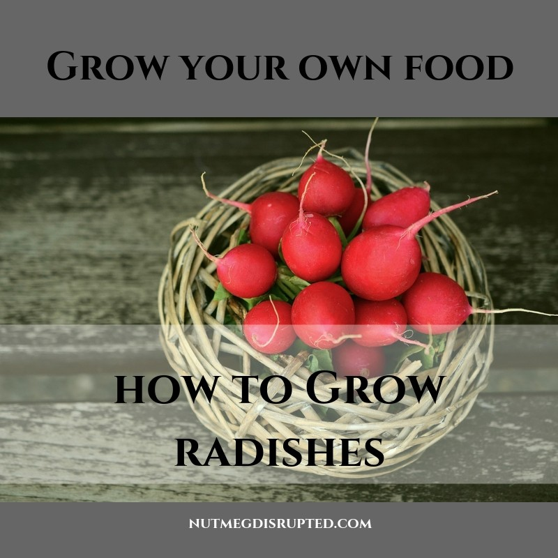 Grow Your Own Food How to Grow Radishes with Nutmeg Disrupted