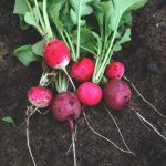 Grow Your Own Food. Growing Radishes.