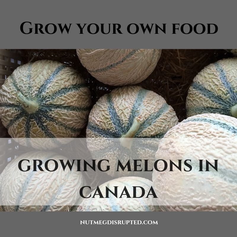 Grow Your Own Food Growing Melons in Canada with Nutmeg Disrupted
