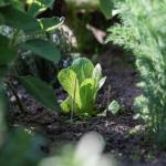 How to plan and grow a salad garden