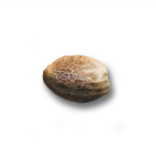 Семена Конопли Super-Skunk Nutra-Seeds.com