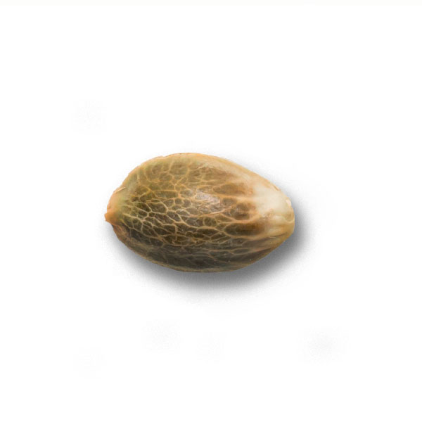 Семена Конопли Tangie Auto Nutra-Seeds Bank