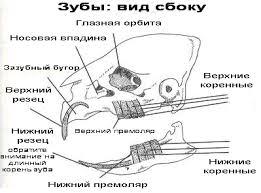 Сколько зубов у морской свинки. Зубы морской свинки — сколько их, уход и заболевания