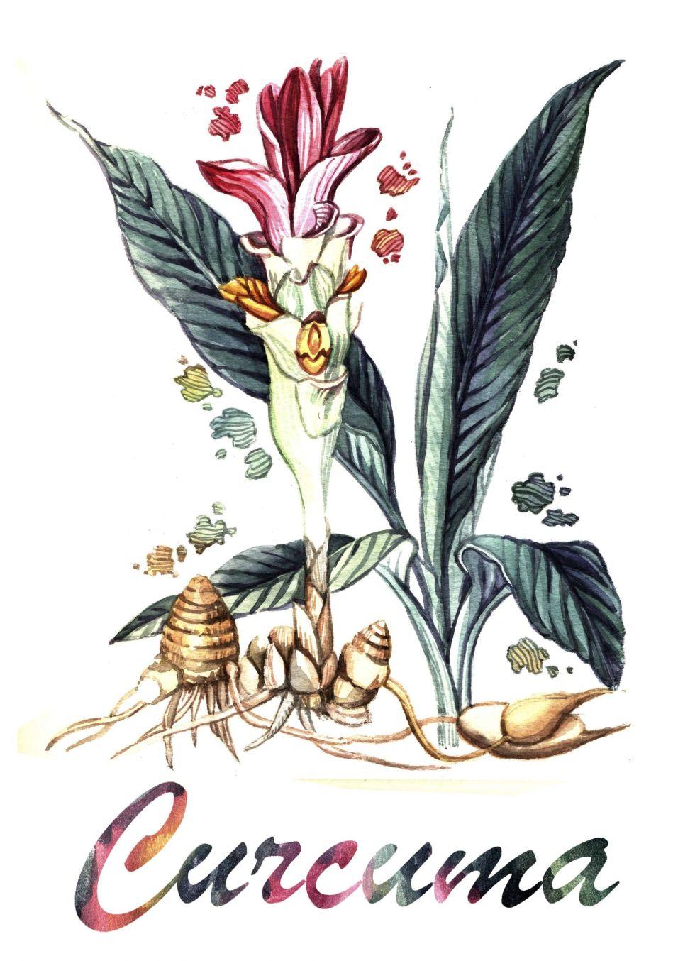 Curcuma watercolor
