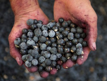 A rough pair of aging hands with small cuts, scars and bruises holds a pile of recently picked acai berries at a plantation in Nordeste, Brazil. The berries are light and dark blue in color and have little specks of purple juice on them. There is a pile of berries covering the surface beneath the hands.