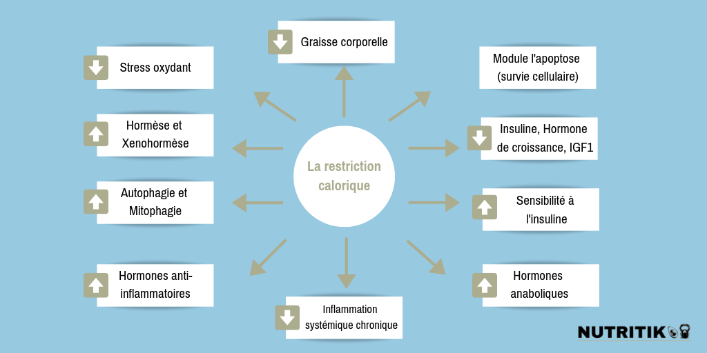 Bénéfices de la Restriction Calorique