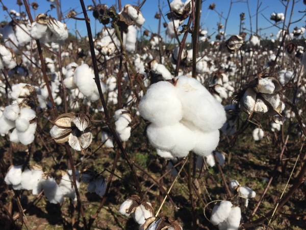 Cotton waiting to be picked