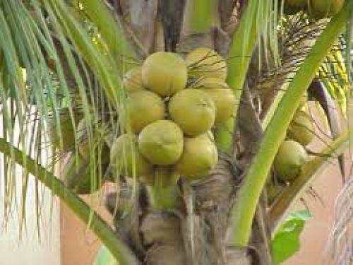 Cocco verde fresco