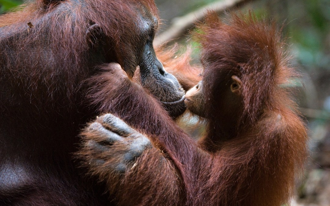 This Is How You Can Help Orangutans in Danger