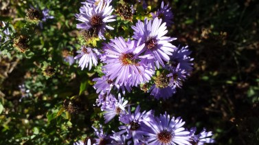 Aromatic Aster(2)