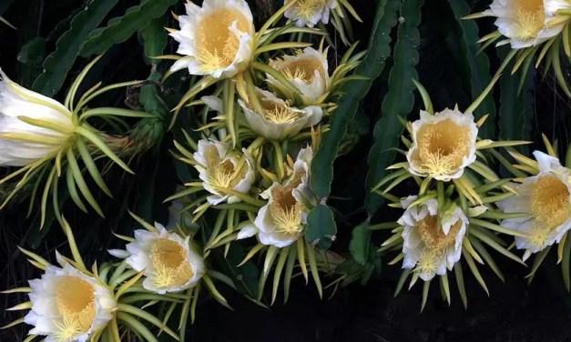 Hylocereus undatus-Cactus