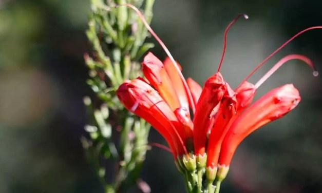 Bignonia capensis