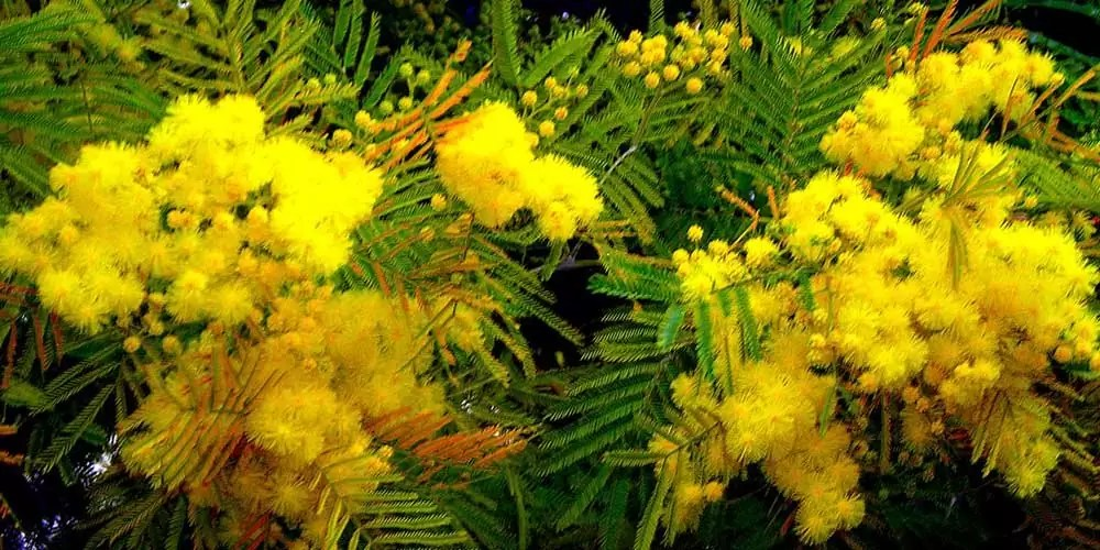 """Acacia """"mimosa"""" soorten"""