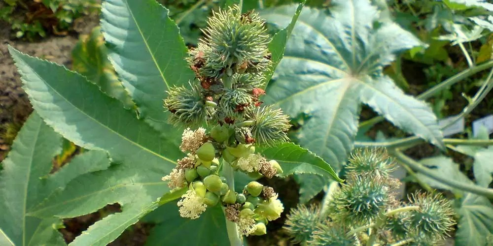 Ricinus communis (wonderboom)