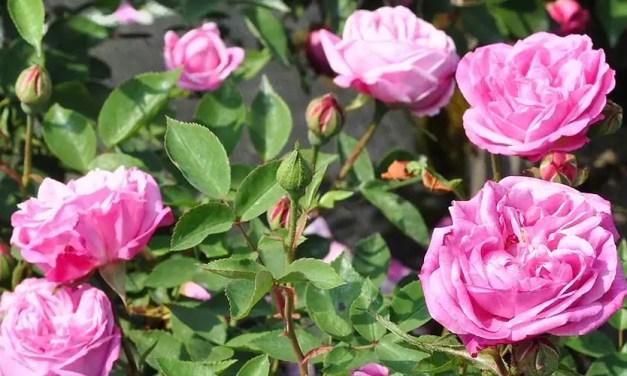 Rosa (de roos)