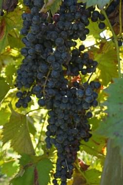 Keels Creek Dark Grapes