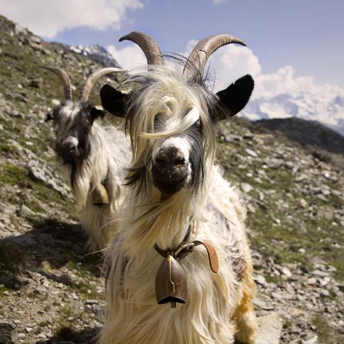 https://i2.wp.com/nwasianweekly.com/wp-content/uploads/2013/32_16/wayne_goat.jpg?resize=500%2C500
