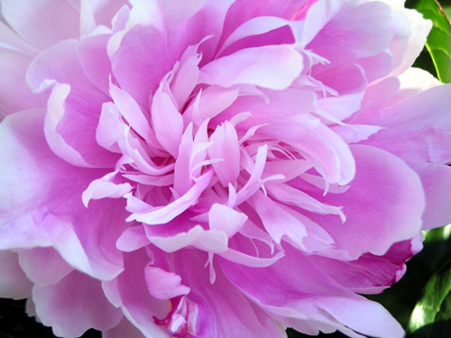 https://i2.wp.com/nwasianweekly.com/wp-content/uploads/2014/33_19/brief_peonies.jpeg