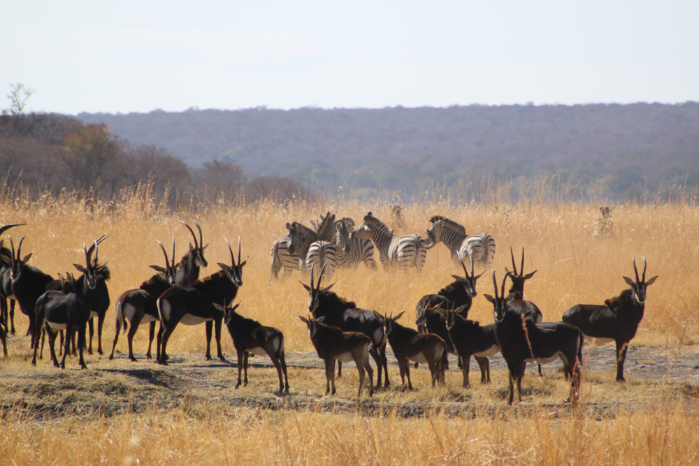 "They call these beautiful sable antelopes ""The Pride of Zimbabwe."" (Photo by Dr. A. Chauvet)"