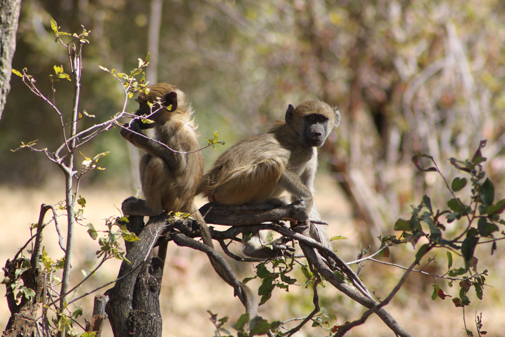 Baboons were common--they made lots of strange noises at night. (Photo: Dr. A. Chauvet)