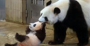 Tokyo baby panda melts hearts of fans in debut