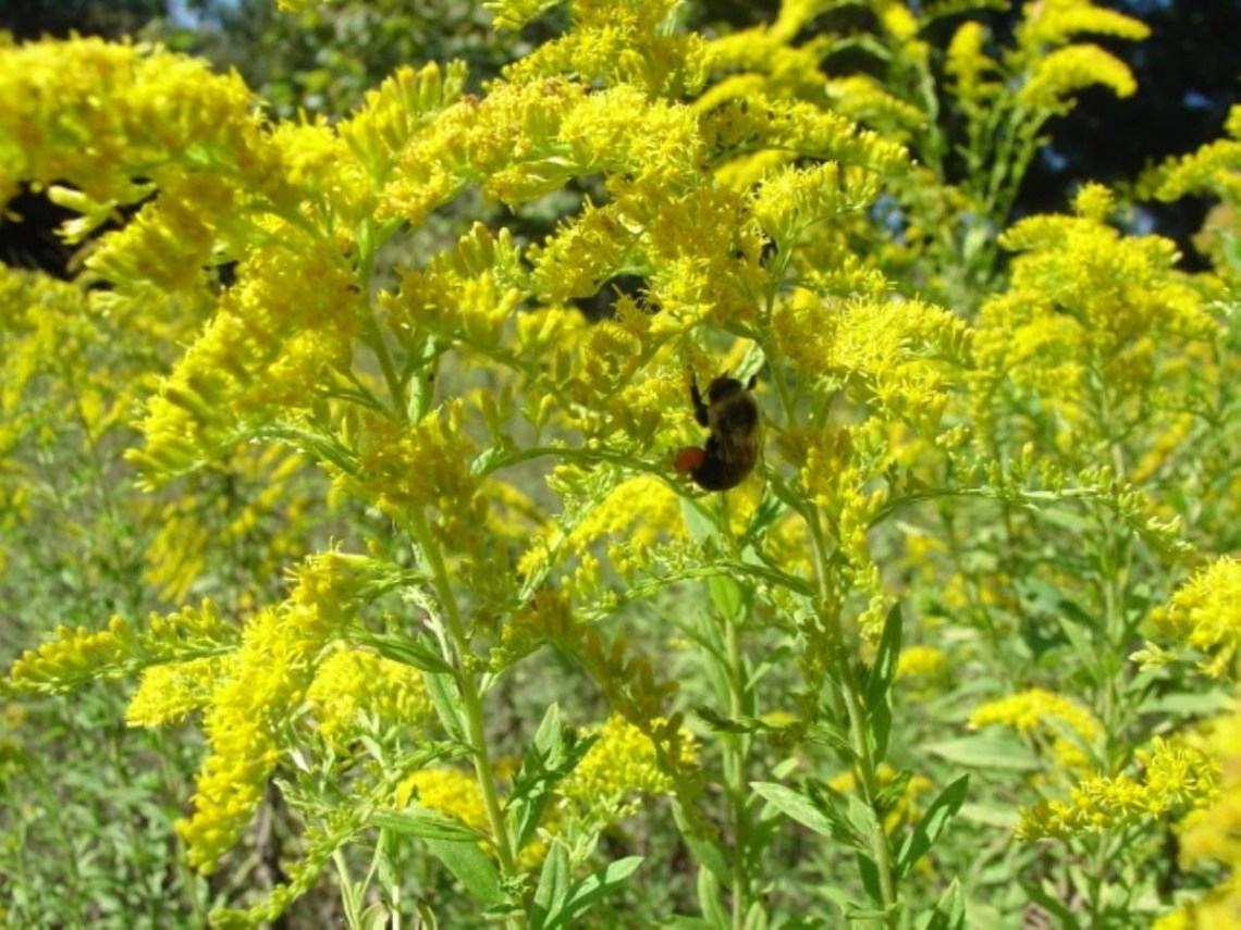 ... Ragweed not Goldenrod for Fall Hay Fever » Gardening in the Panhandle