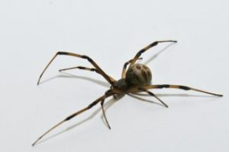 Brown widow spider (female)