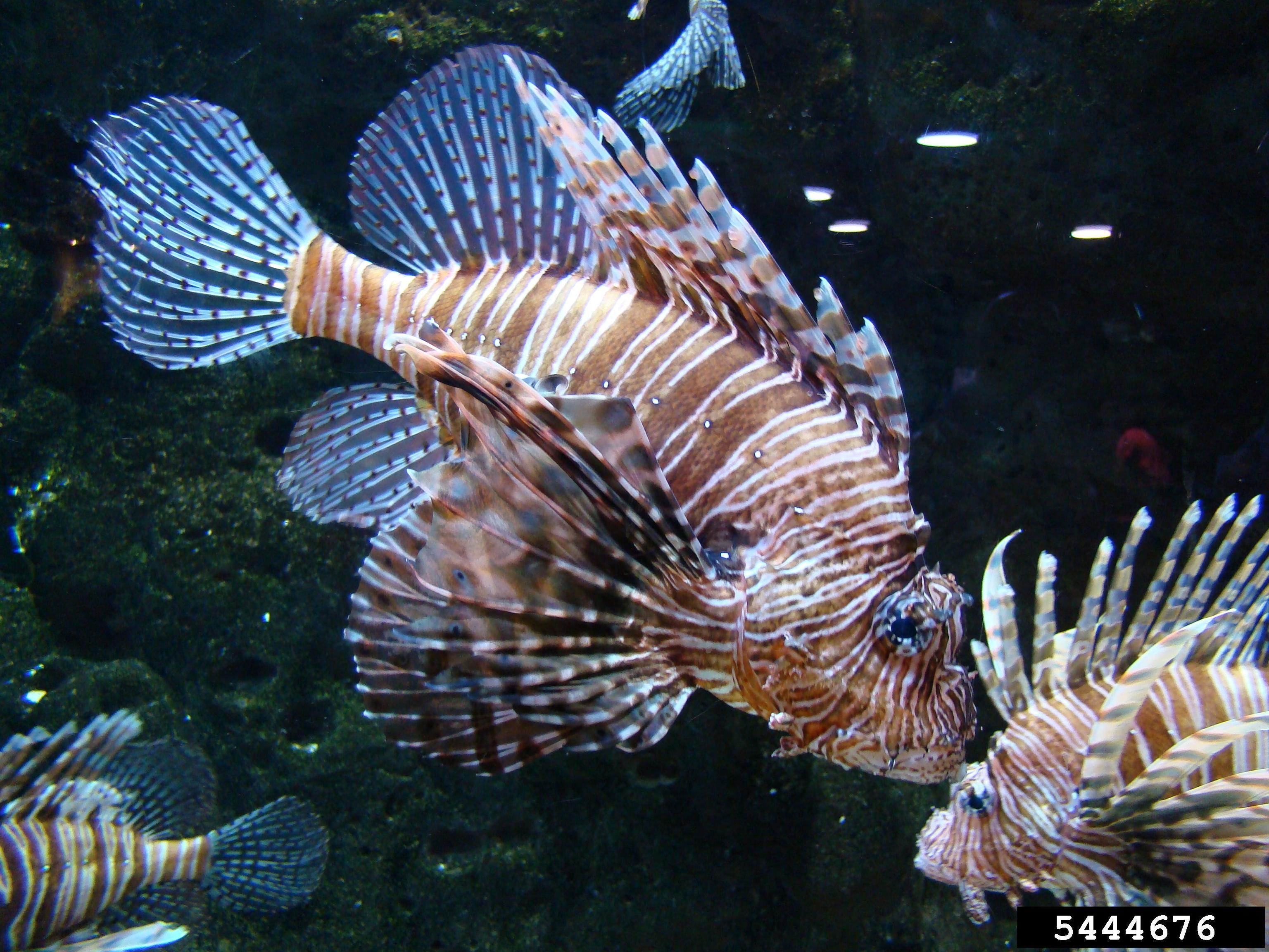 Invasive Species Of The Day February 24 Lionfish And