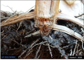 Fusarium oxysporum symptoms