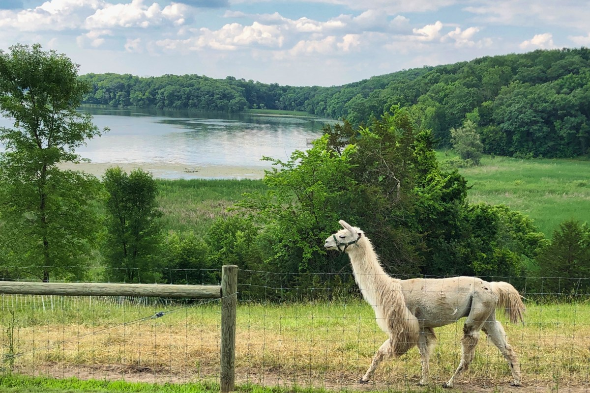 Llama with Lake in background