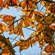 Mexico, Michoacan, winter migration of monarch butterflies