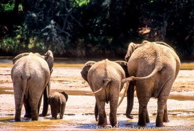 Kenya: Samburu National Reserve, female African elephant with two young adults and baby drinking from Uaso Nyiro River