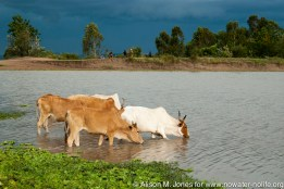 Tanzania: No Water No Life Mara River Expedition, Masarua Dam water catchment, cattle livestock drinking water