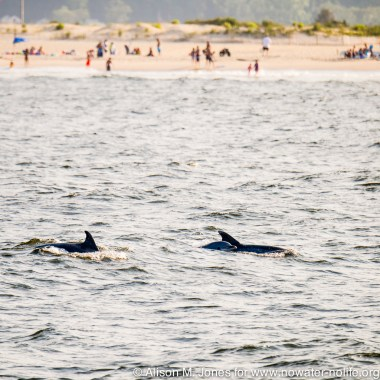 Dolphins swimming this summer just outside the Raritan Bay