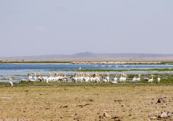 Amboseli Great White Pelican.jpg
