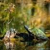 USA: Louisiana, Atchafalaya Basin, mud turtle and wild flower in swamp