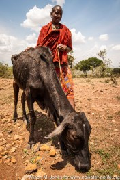 Africa: Kenya, Mara River Basin, Maasai in 2009 drought with dying cattle after walking 1000 km for 7 days seeking food and water