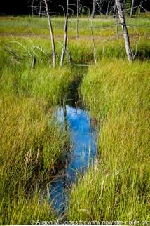 USA: New York, Adirondacks State Park, beaver path through reeds