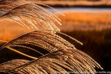 CT: Rowayton, Phragmites grasses on Farm Creek early winter morning.