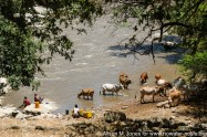 Ethiopia: cattle drinking water