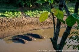 East Africa, Kenya, Maasai Mara National Reserve, Mara Conservancy, Mara Triangle, Mara River Basin, hippopotamus (Hippopotamus amphibius) in Mara River